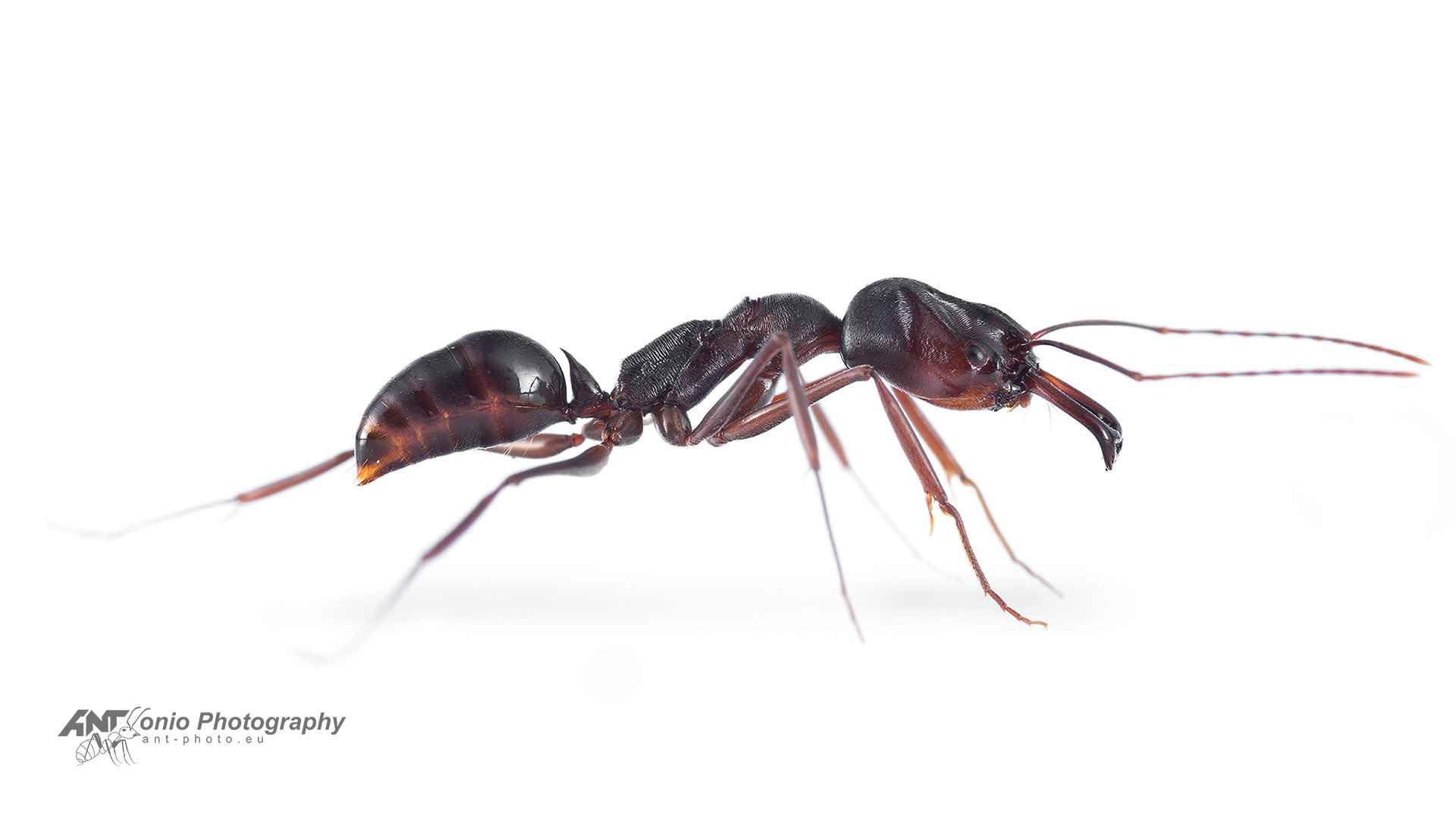 Ant Odontomachus monticola worker