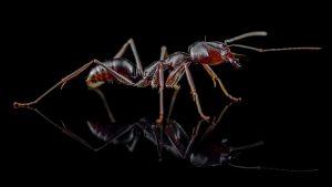 Odontomachus monticola