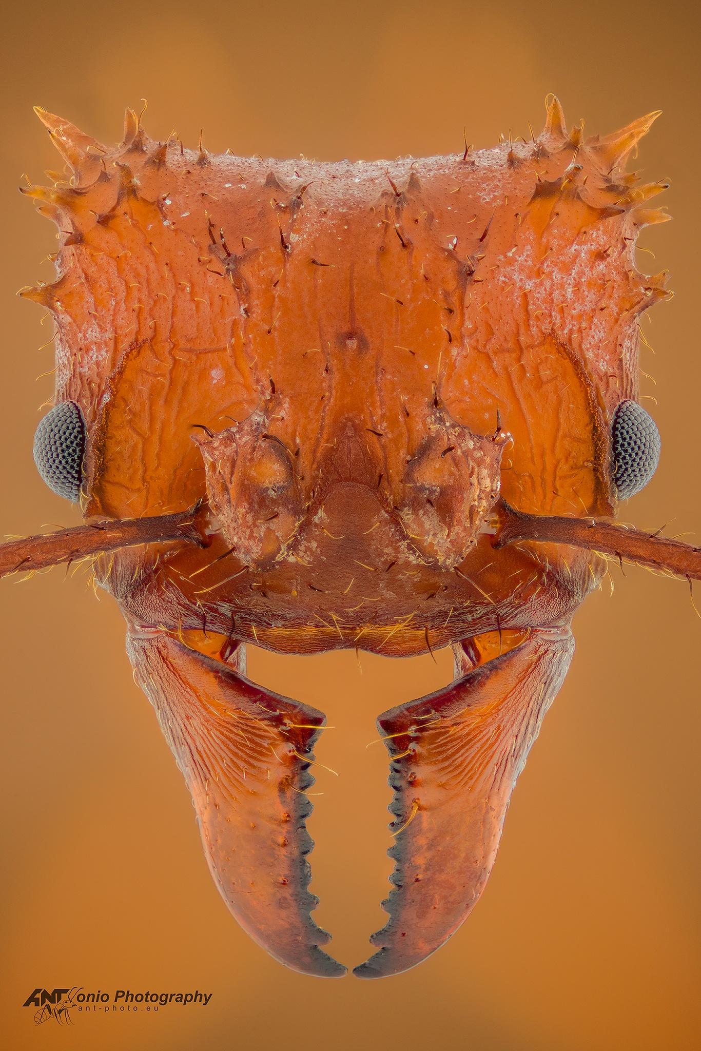 Ant Acromyrmex octospinosus head