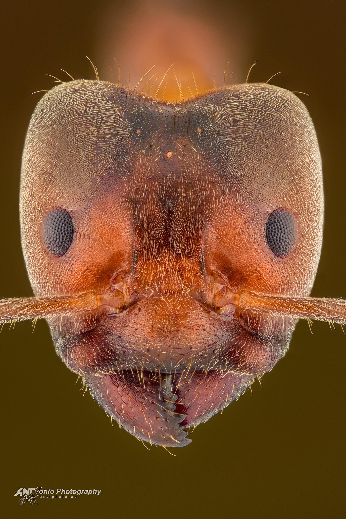 Ant Azteca instabilis head