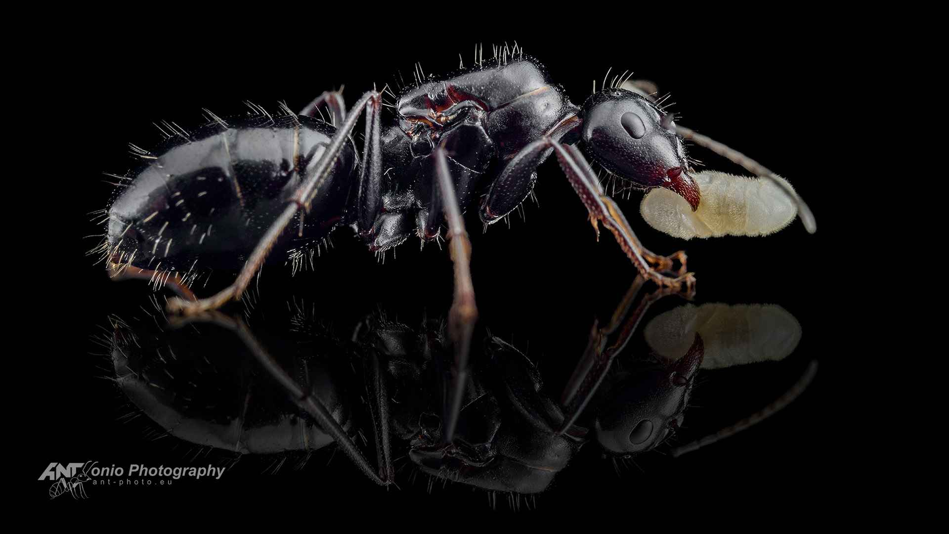 Ant Camponotus foreli queen
