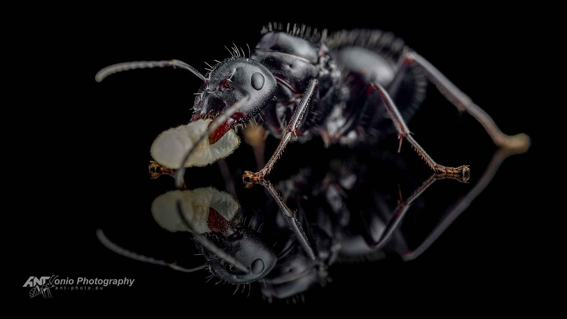 Ant Camponotus foreli queen