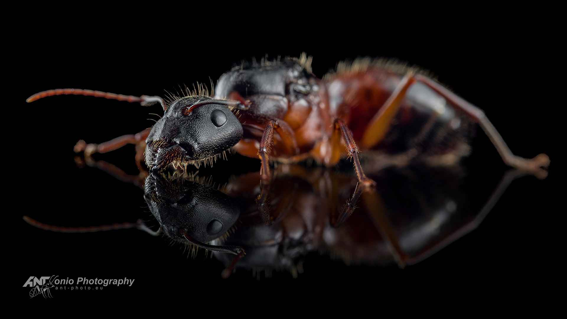 Ant Camponotus sp. from California