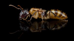 Camponotus sp. from Caribbean
