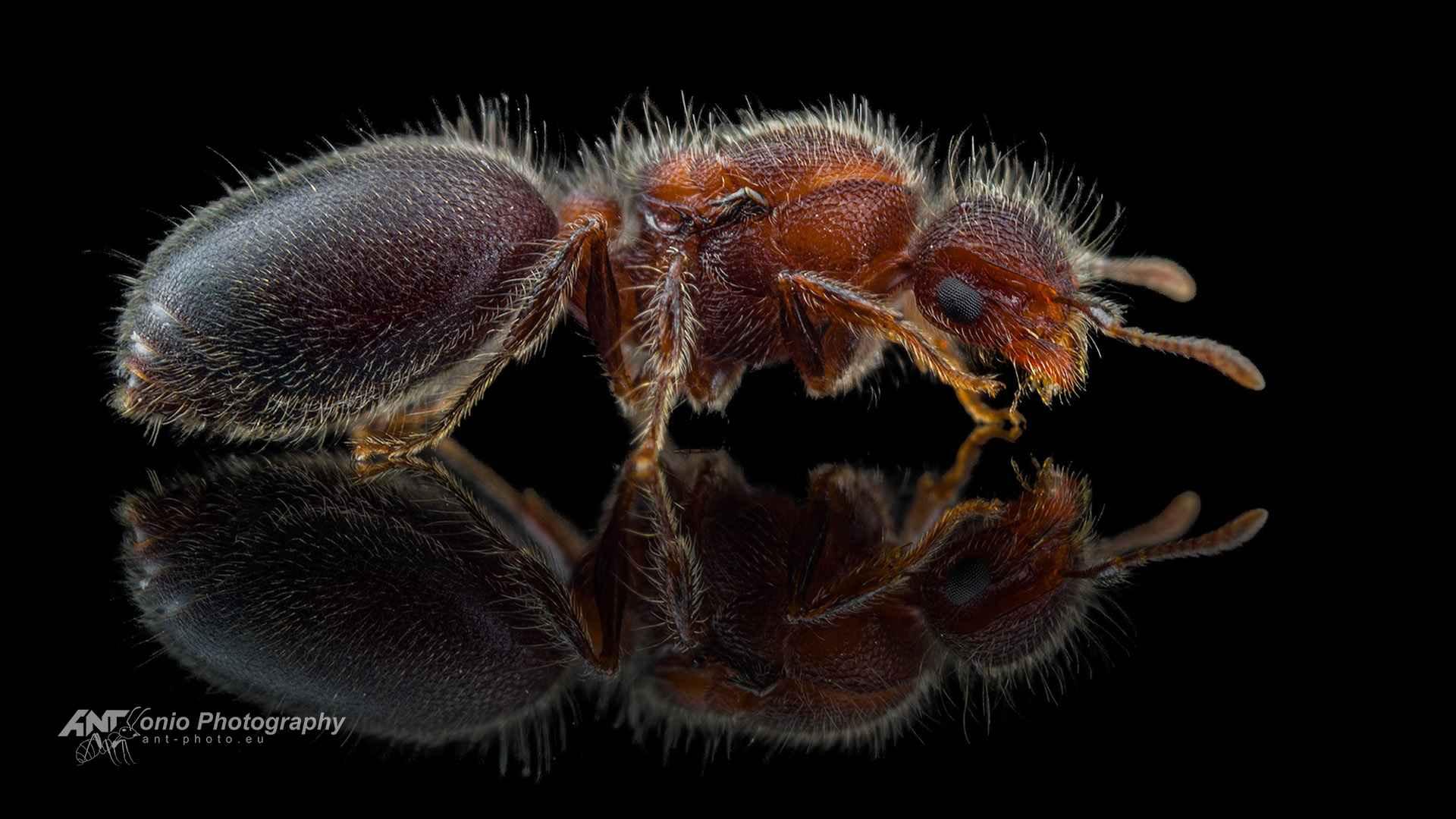Ant Meranoplus bicolor queen