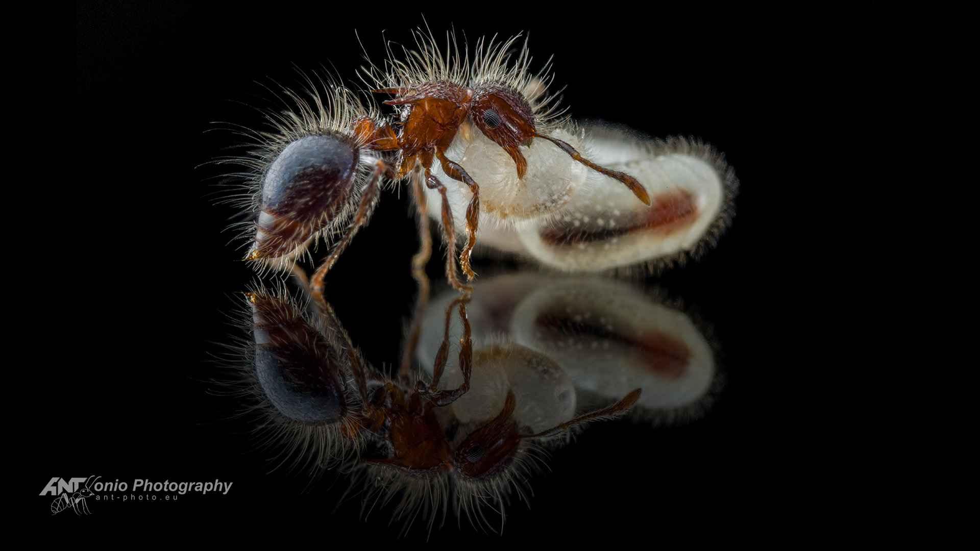 Ant Meranoplus bicolor worker