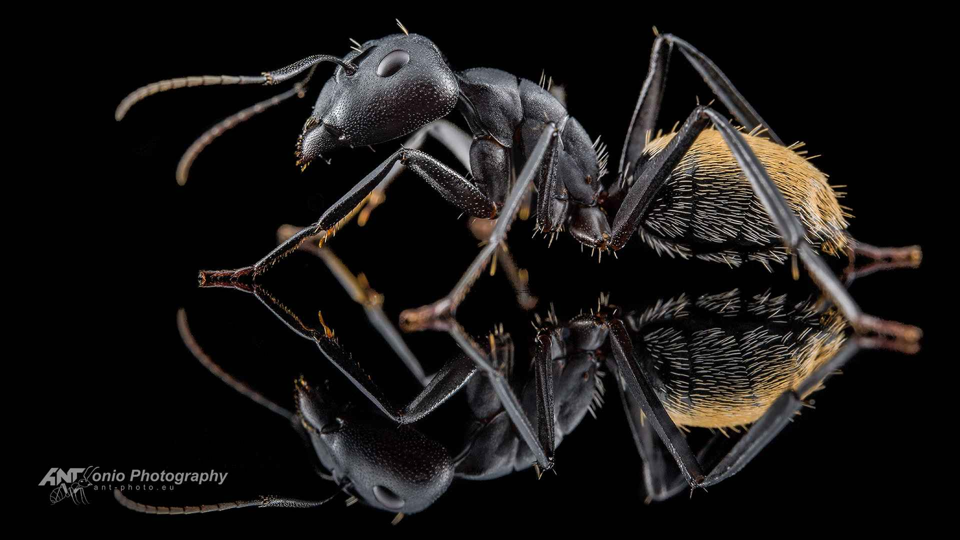 Ant Camponotus fulvopilosus soldier