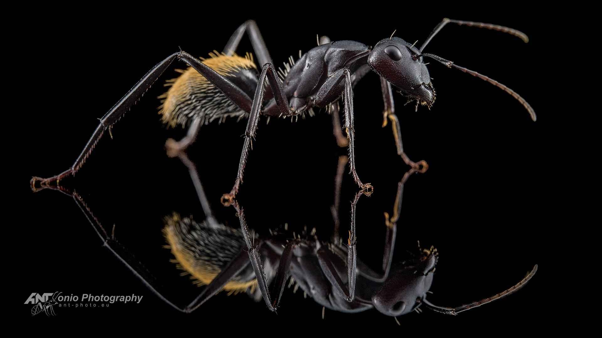 Ant Camponotus fulvopilosus worker