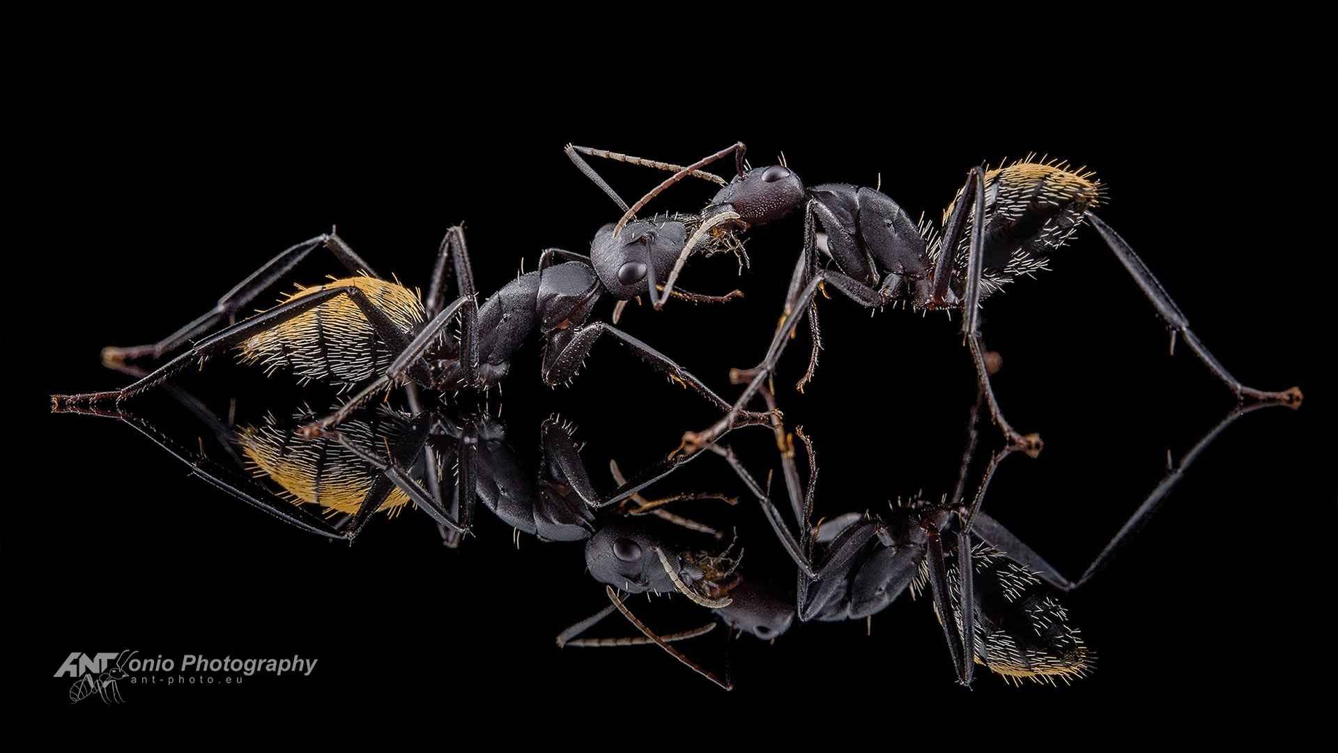 Ant Camponotus fulvopilosus trophallaxis