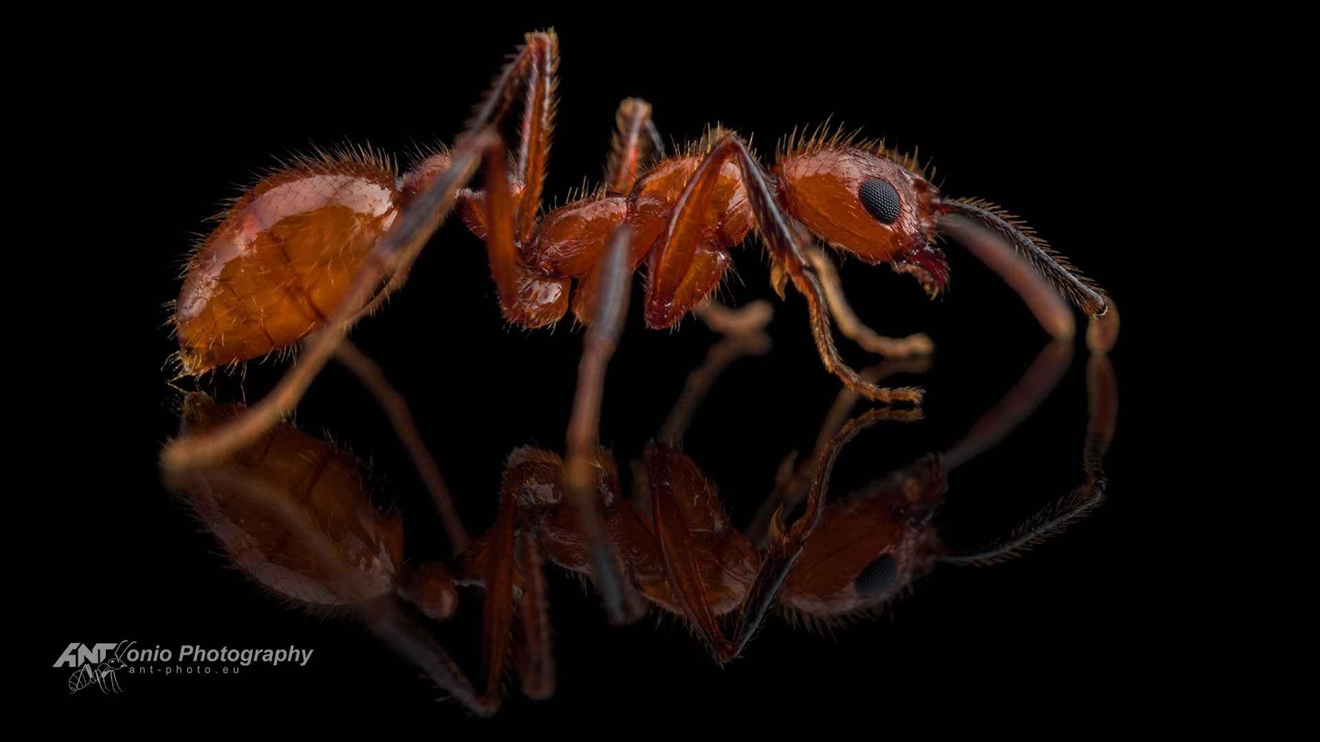 Ant Megalomyrmex sp.