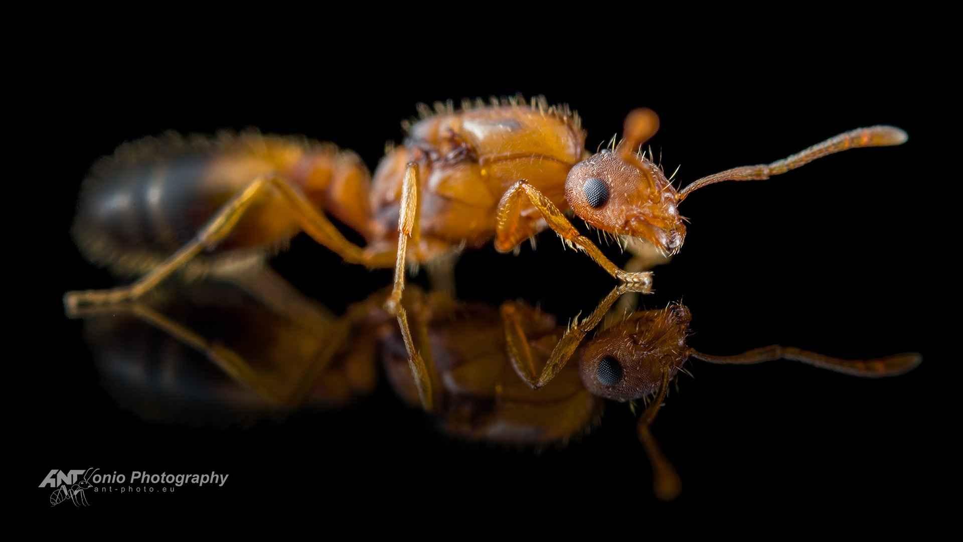 Ant Monomorium pharaonis queen