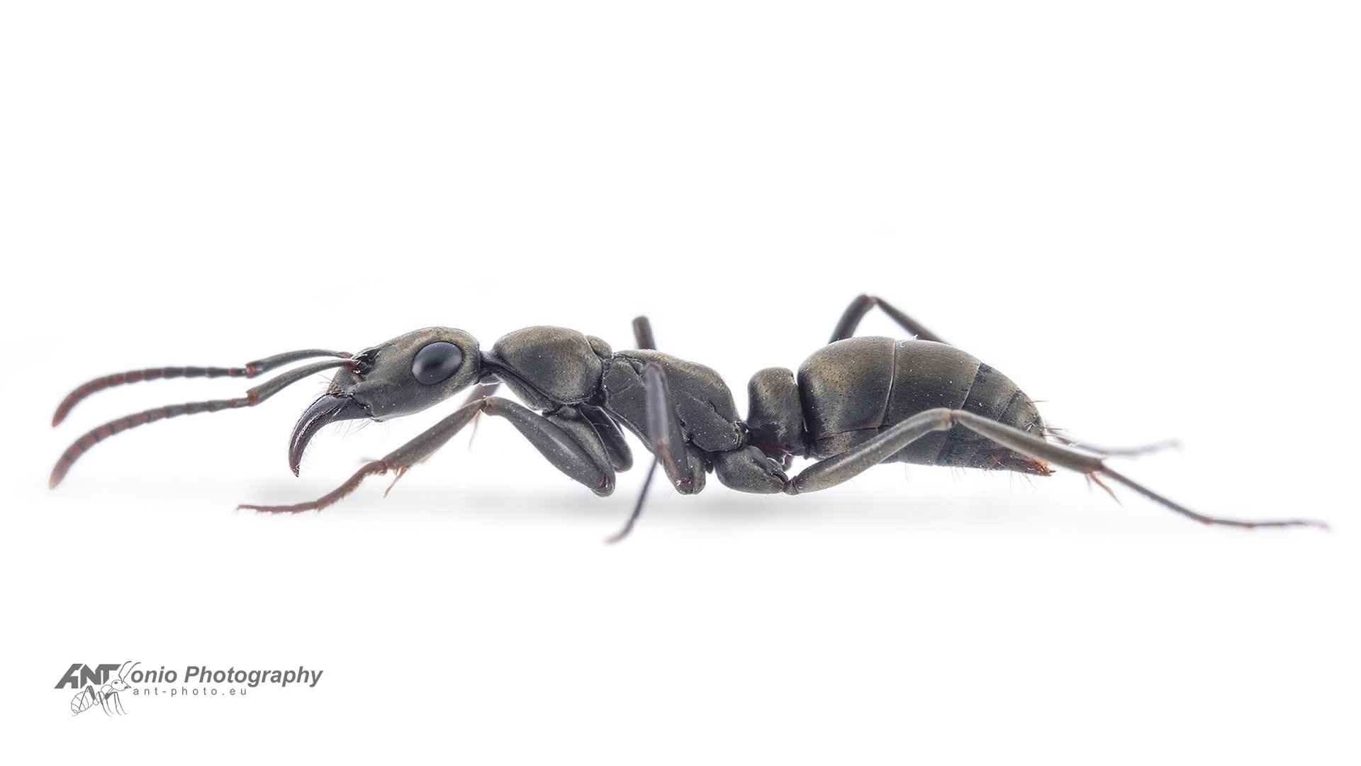 Ant Ophthalmopone berthoudi worker