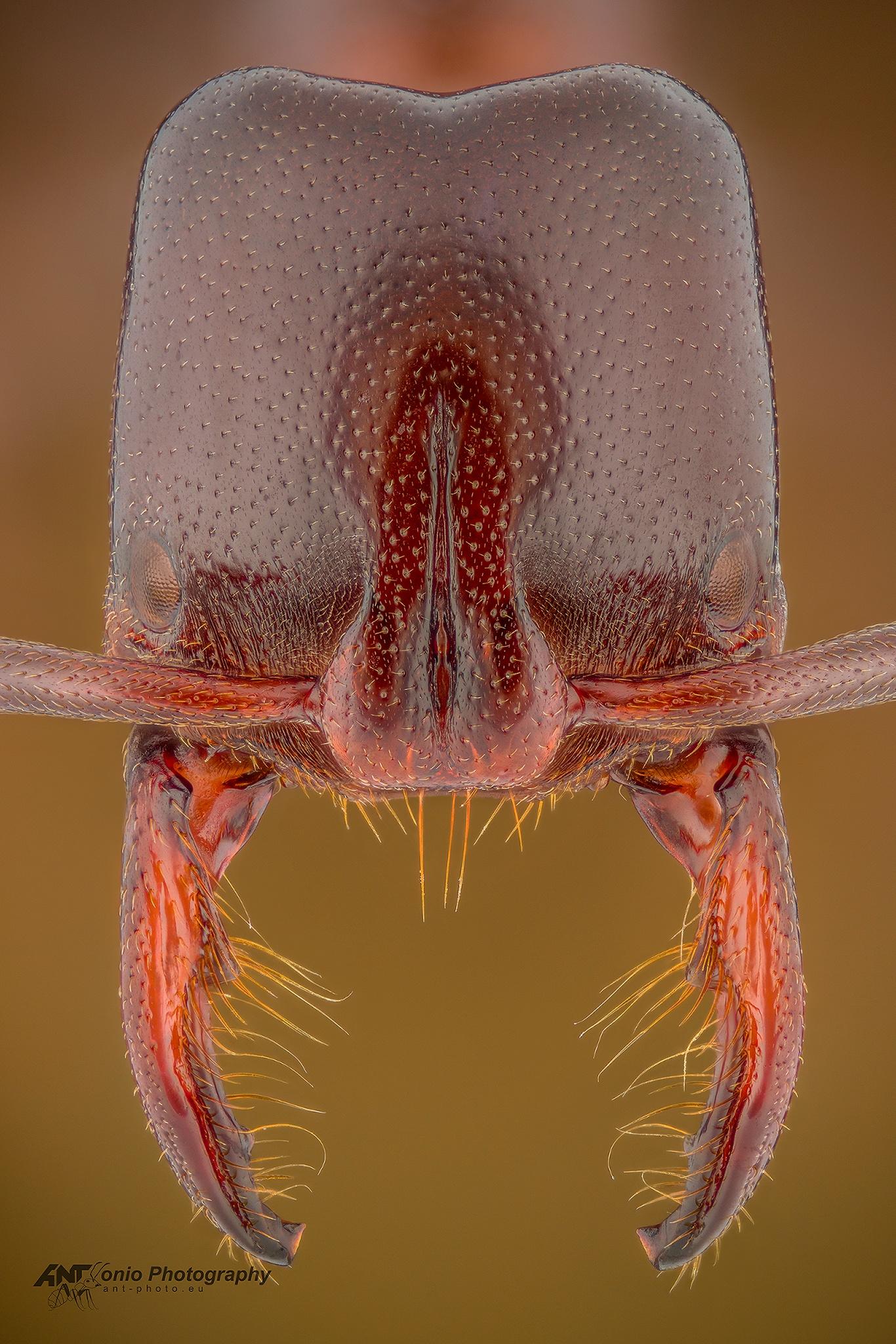 Ant Plectroctena mandibularis head