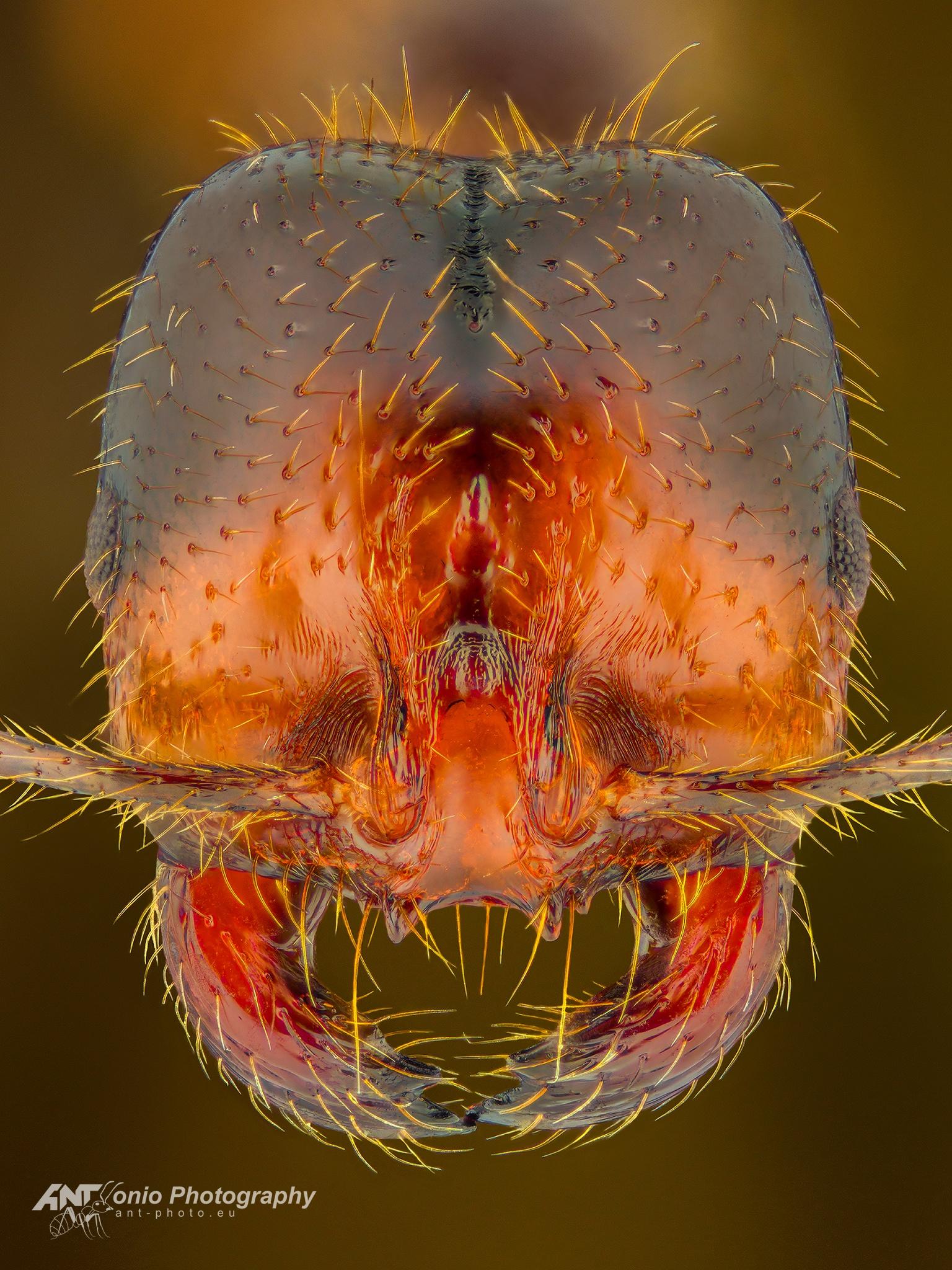 Ant Solenopsis geminata