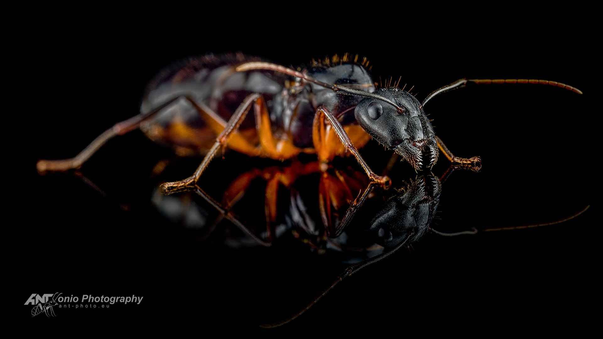 Camponotus ionius