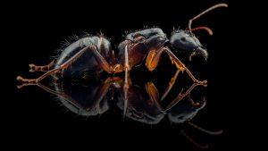 Camponotus kugleri