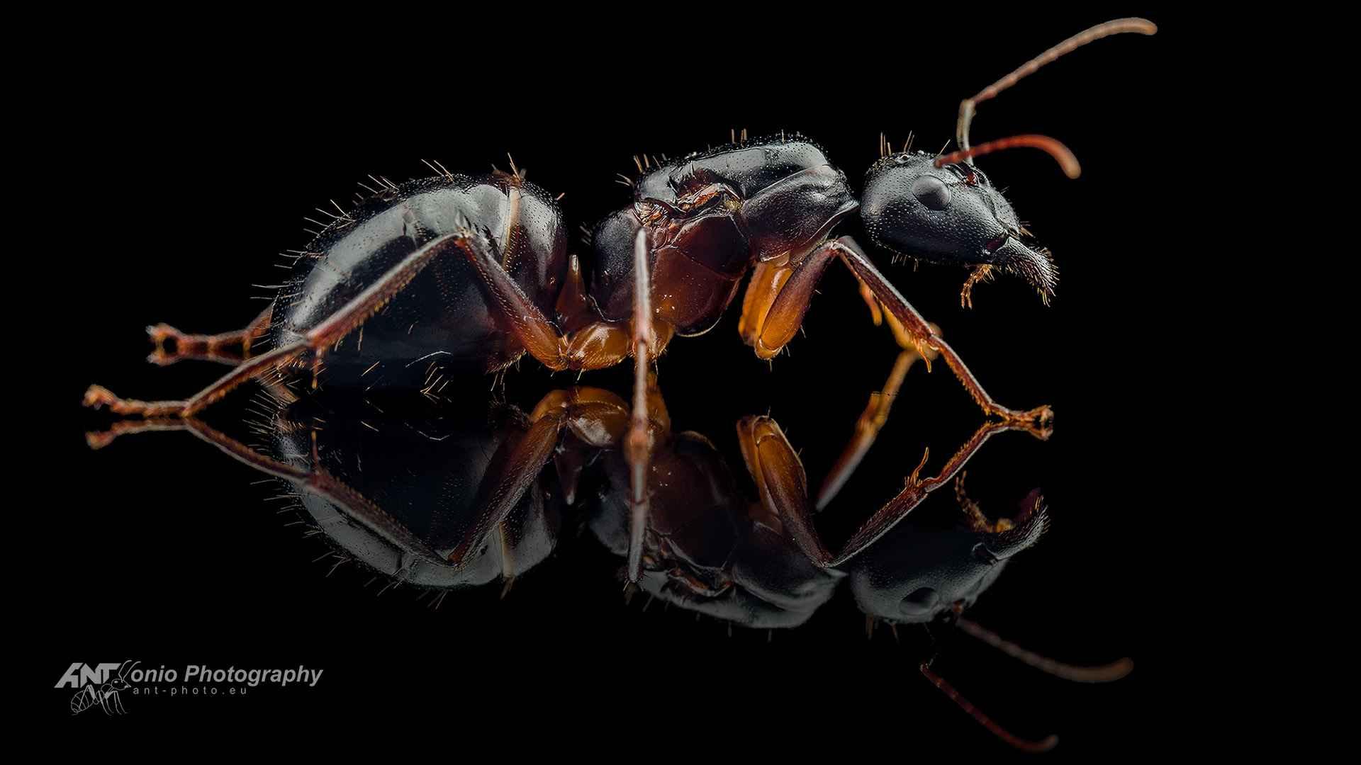 Camponotus kugleri queen