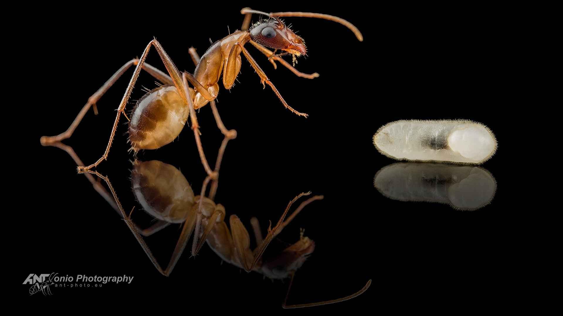 Camponotus kugleri worker