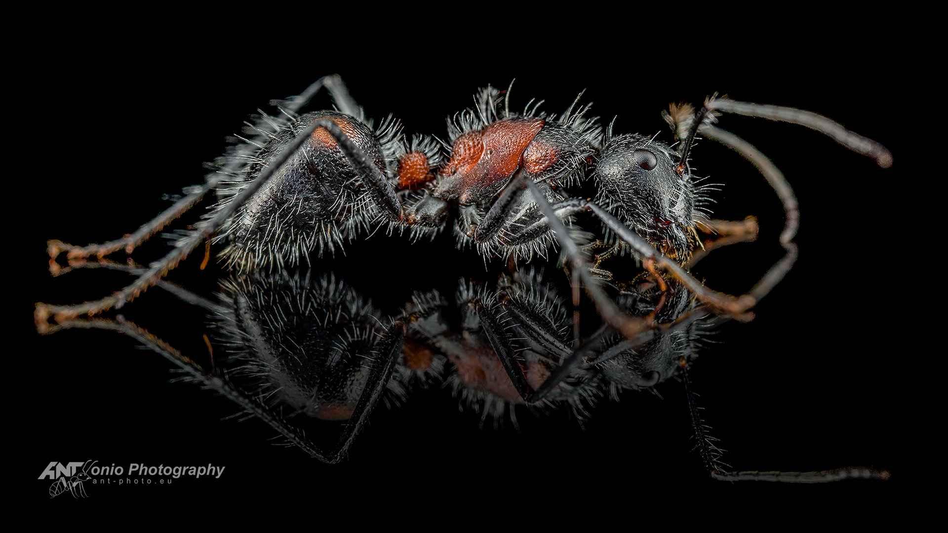 Camponotus mutilarius xiangban