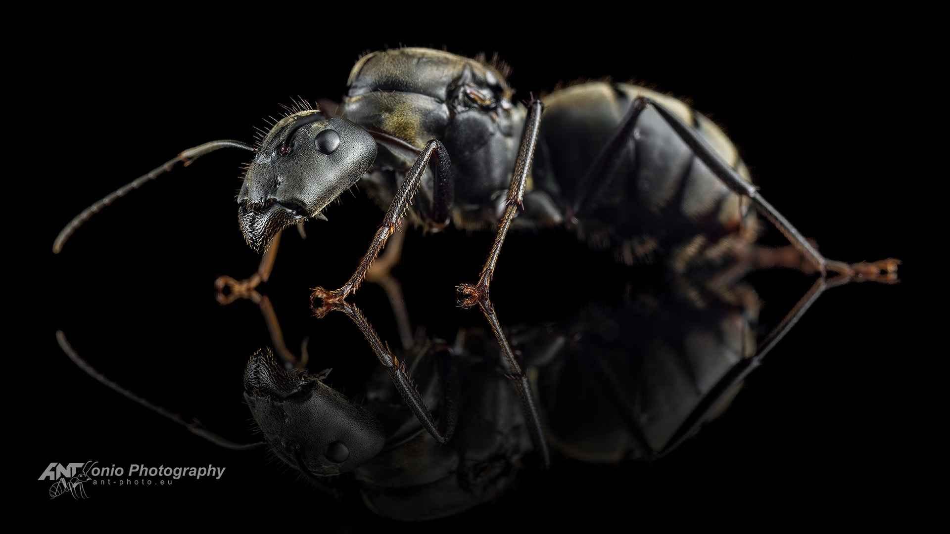 Camponotus pseudolendus Queen