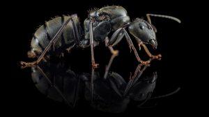 Camponotus pseudolendus