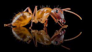 Camponotus substitutus