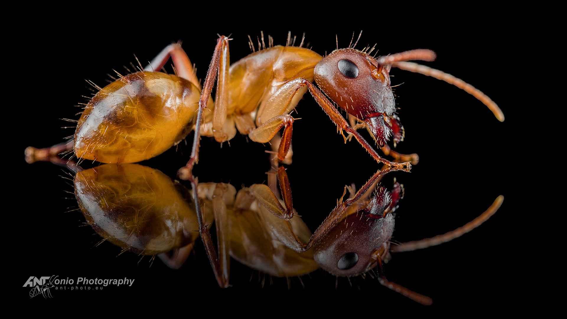 Camponotus substitutus soldier