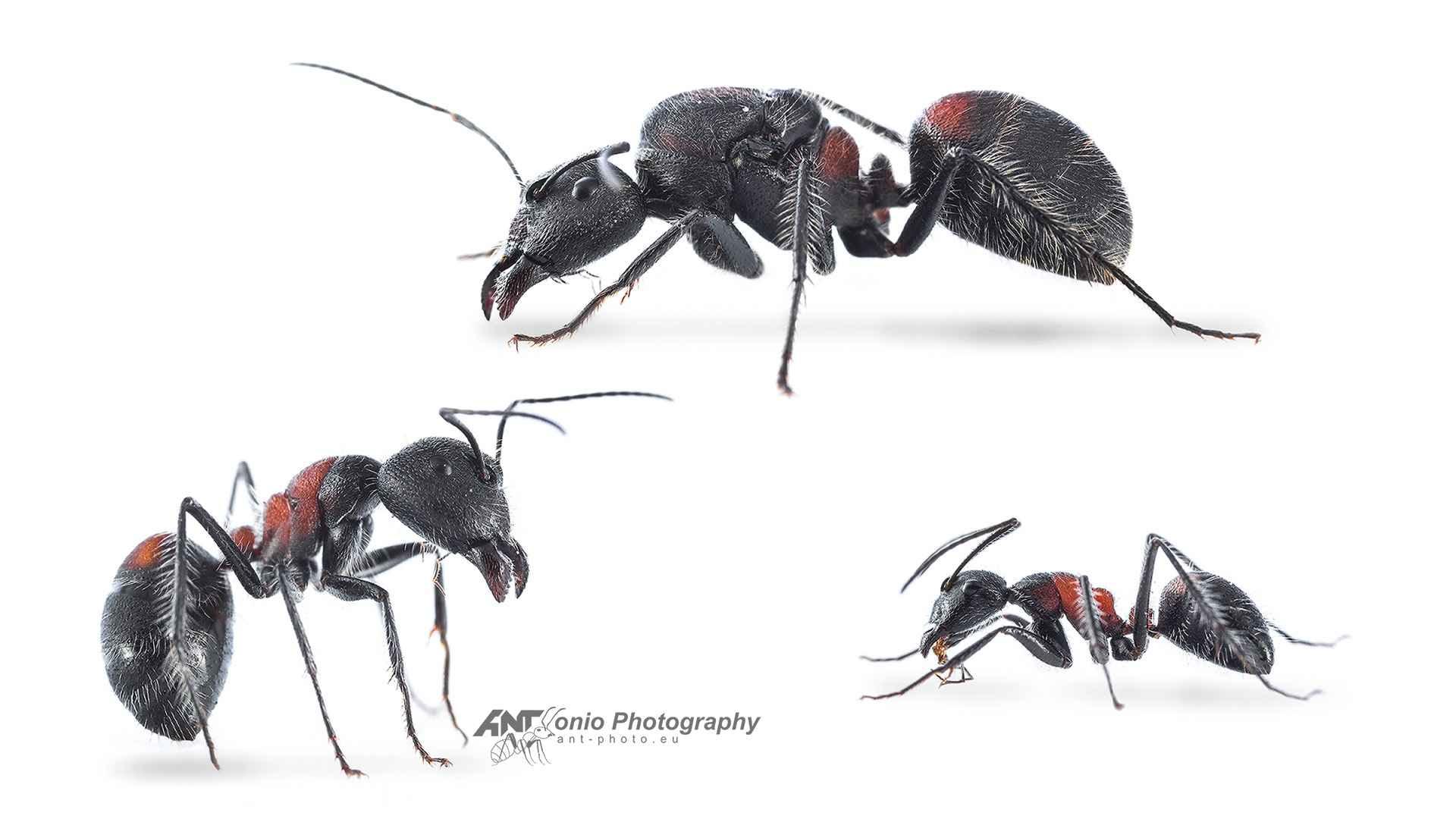 """Camponotus mutilarius """"xiangban"""""""