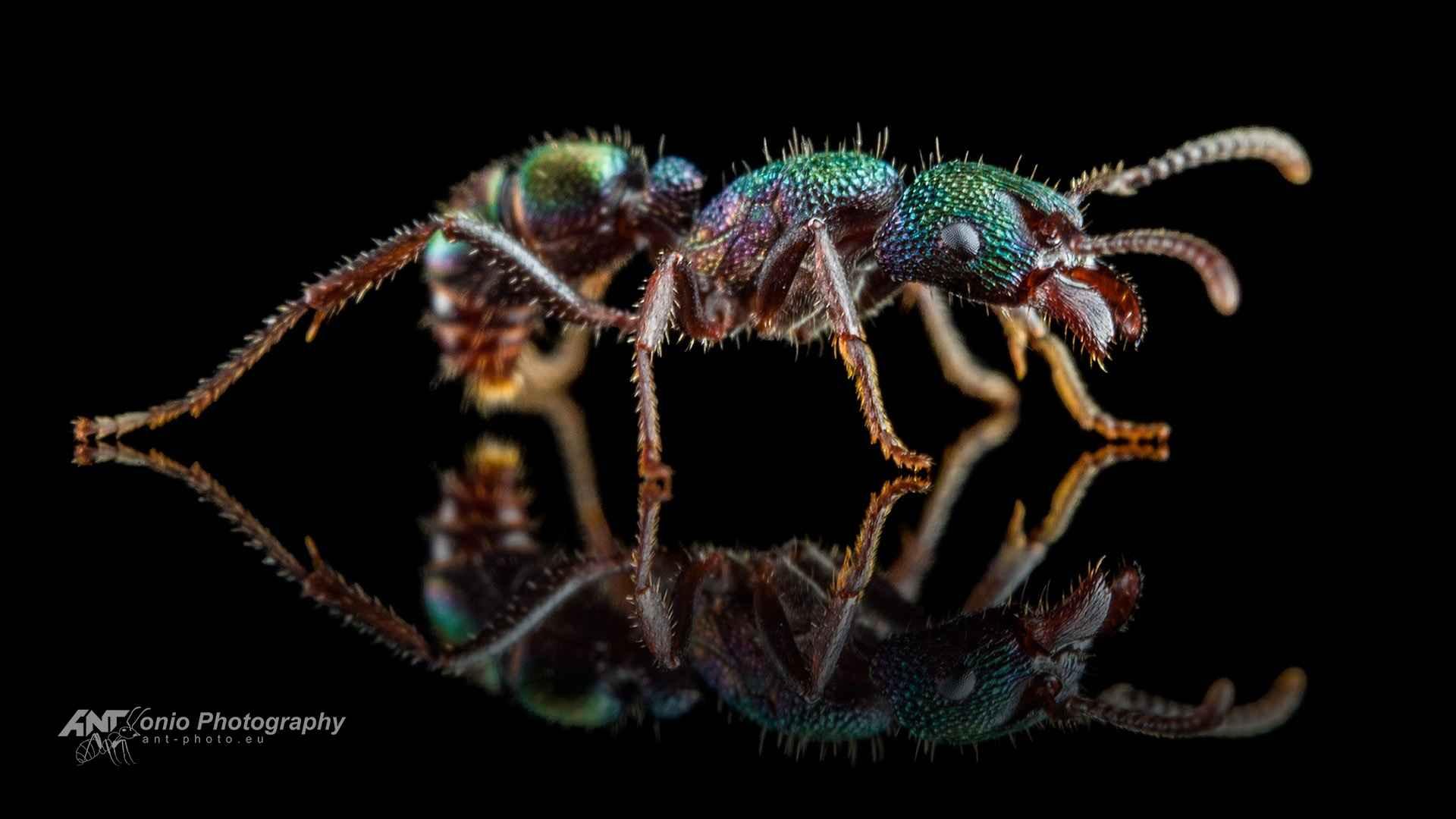 Ant Rhytidoponera metallica worker