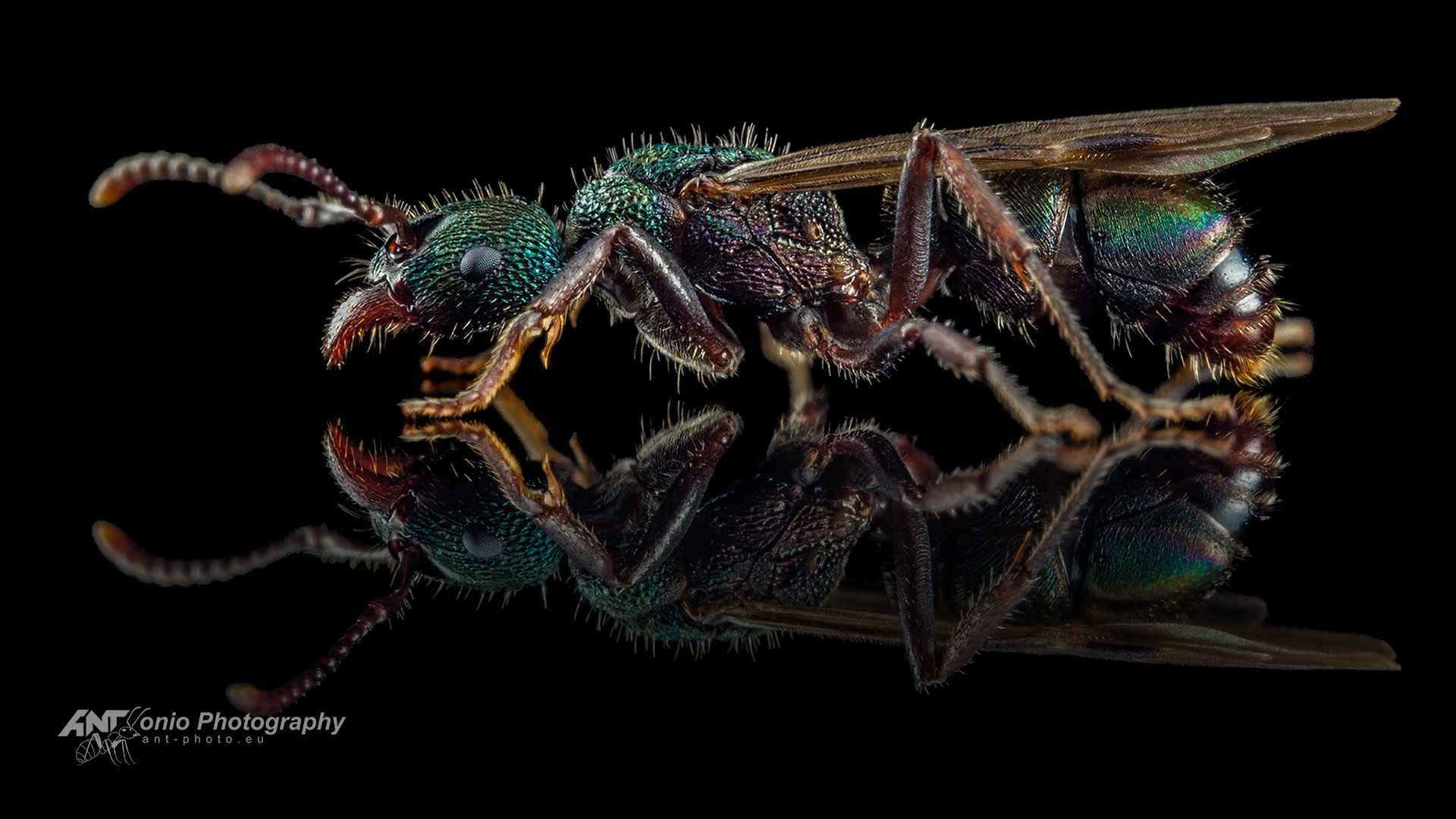 Ant Rhytidoponera metallica queen fly