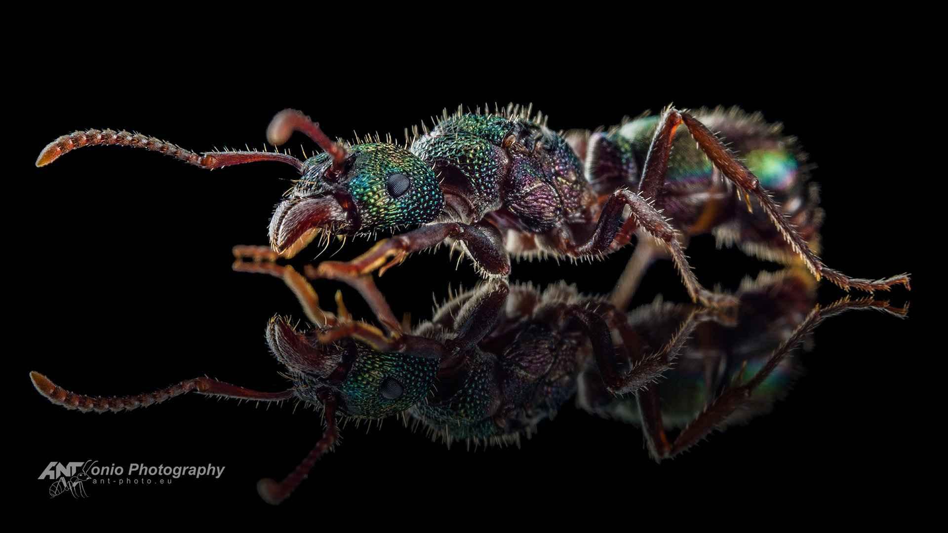 Ant Rhytidoponera metallica queen