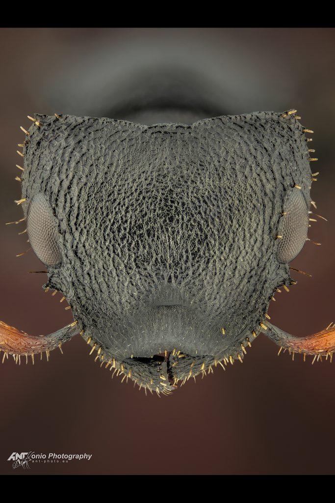 Cataulacus huberi