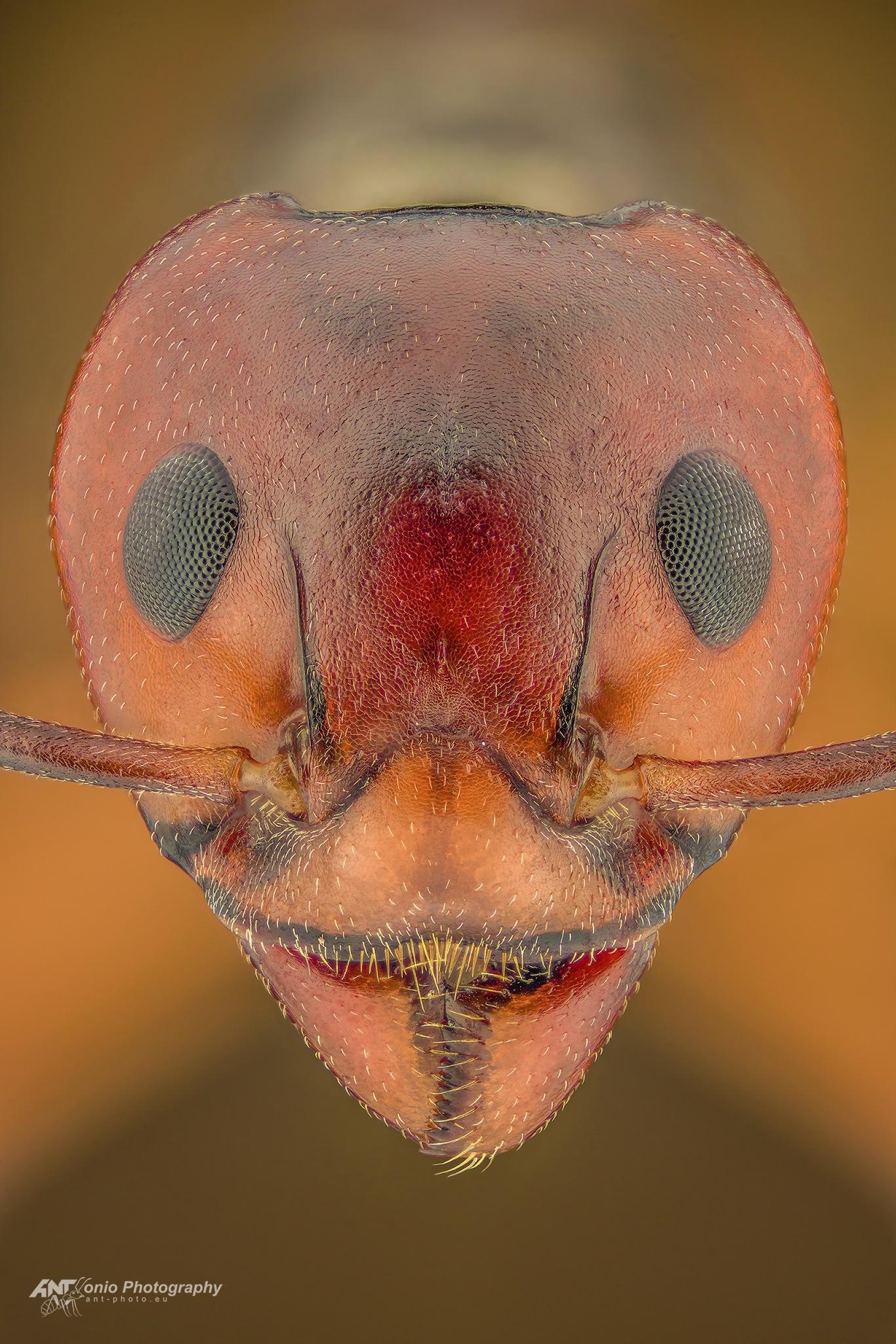 Ant Dolichoderus cuspidatus head