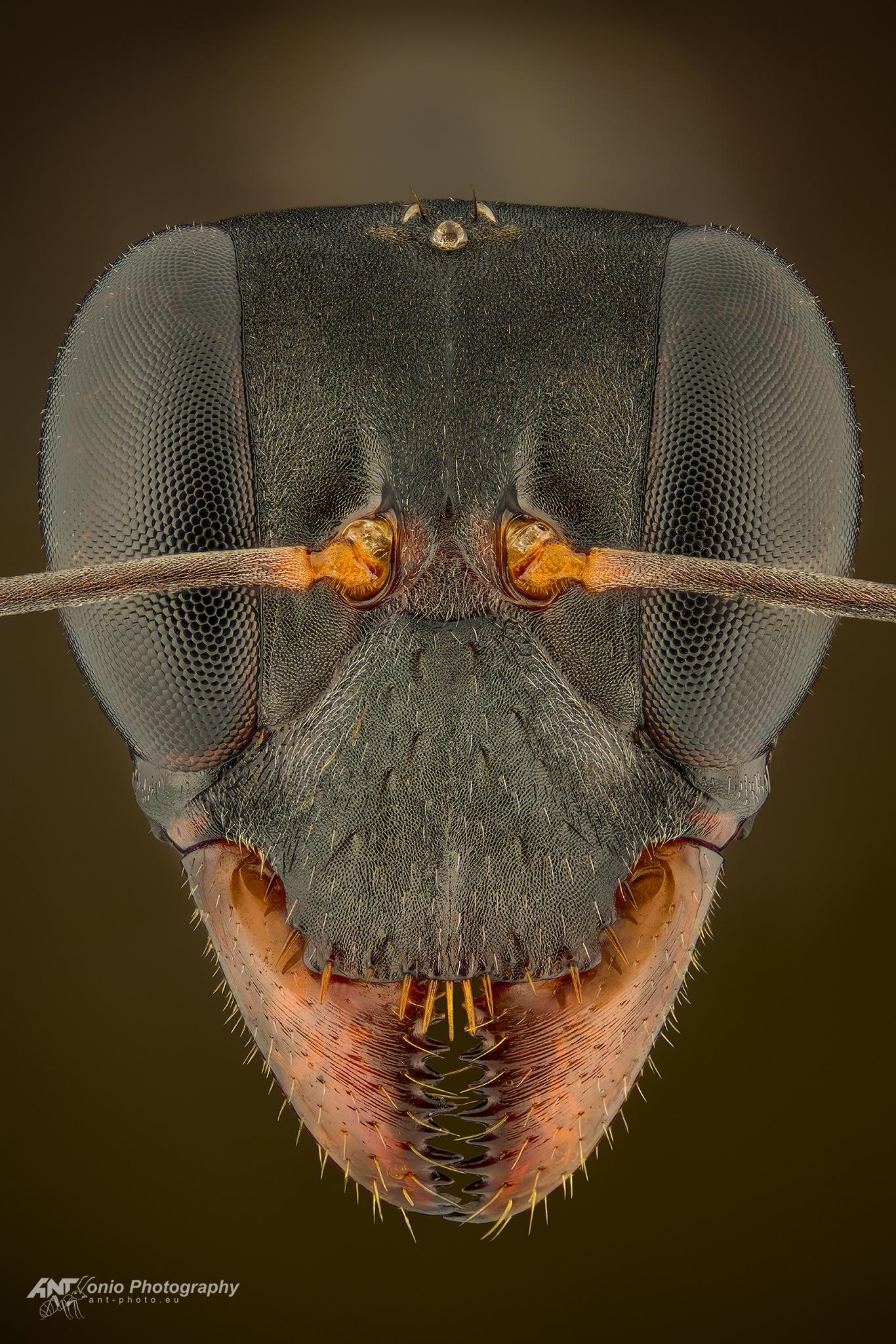 Ant Gigantiops destructor head