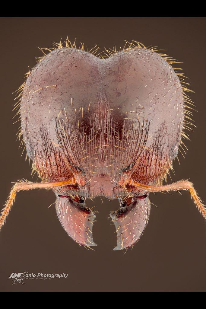 Pheidole megacephala rotundata