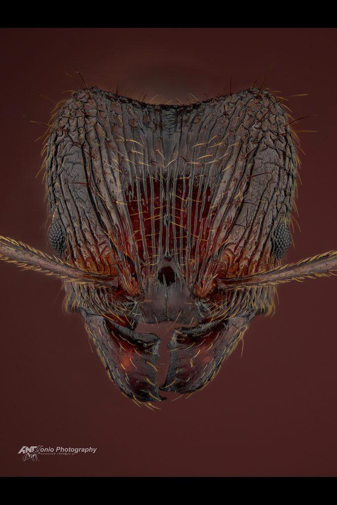 Pheidole nodus