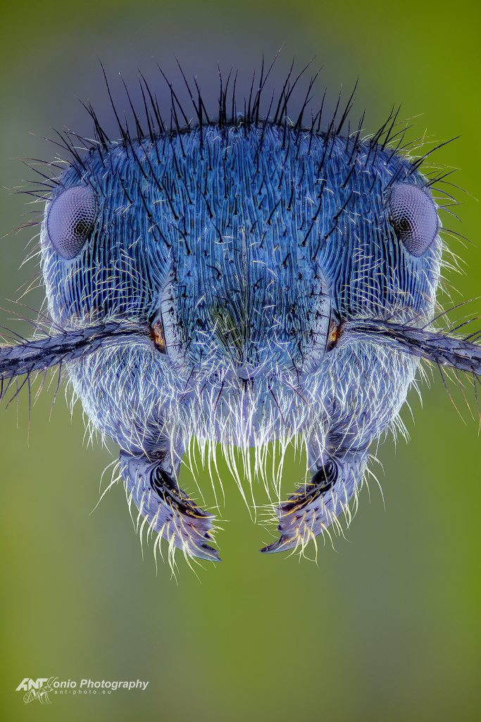 Echinopla striata