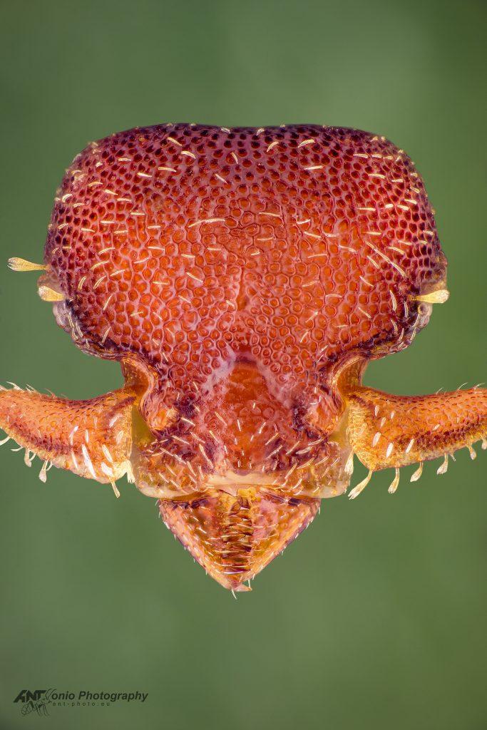 Octostruma amrishi