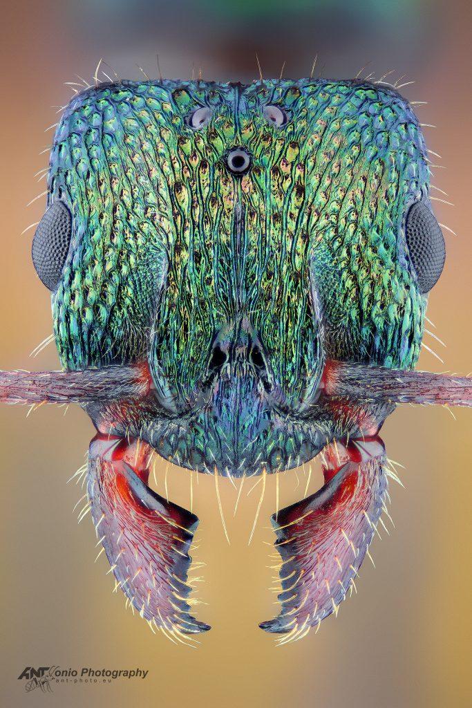 Rhytidoponera metallica