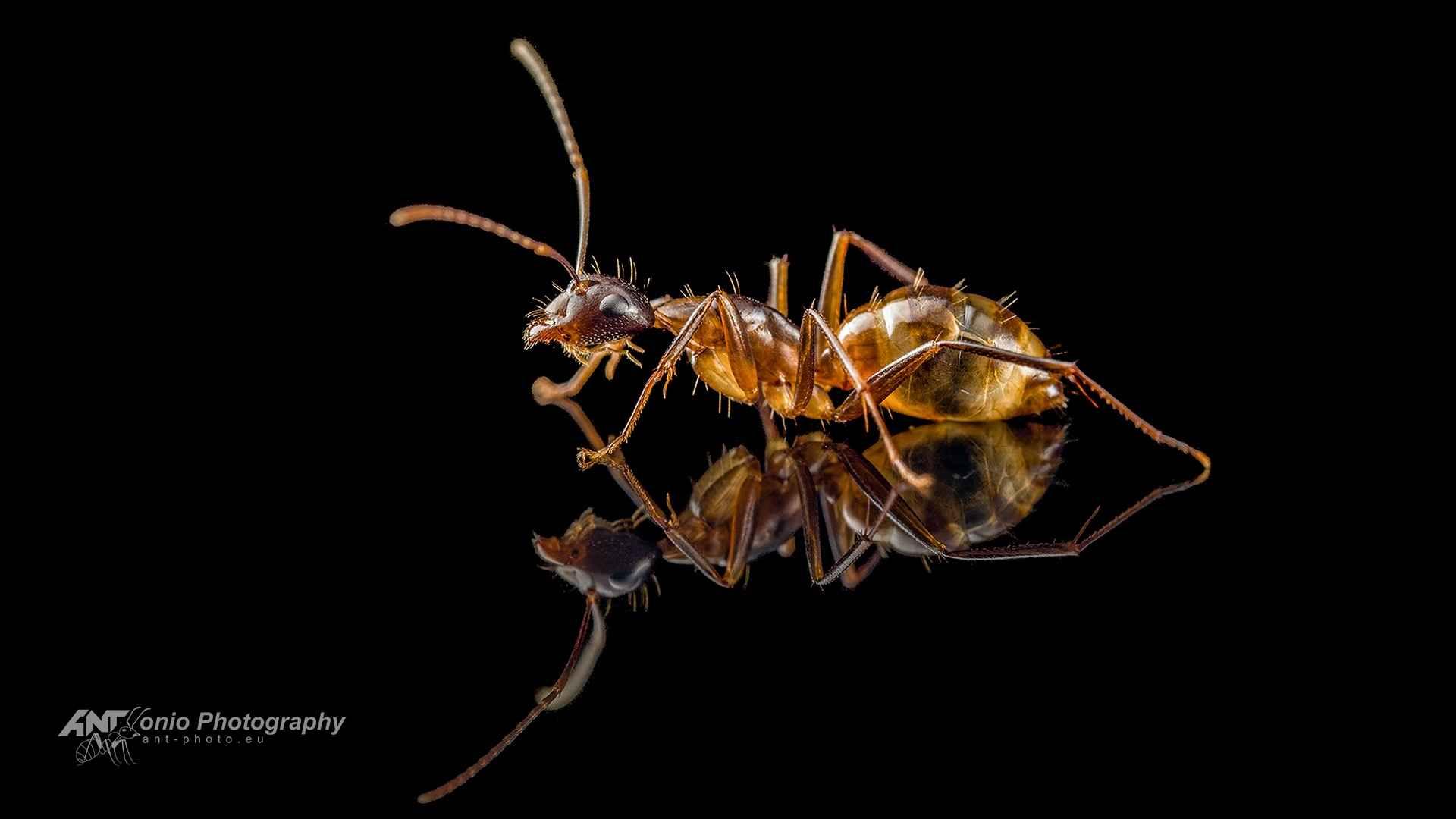 Camponotus americanus worker