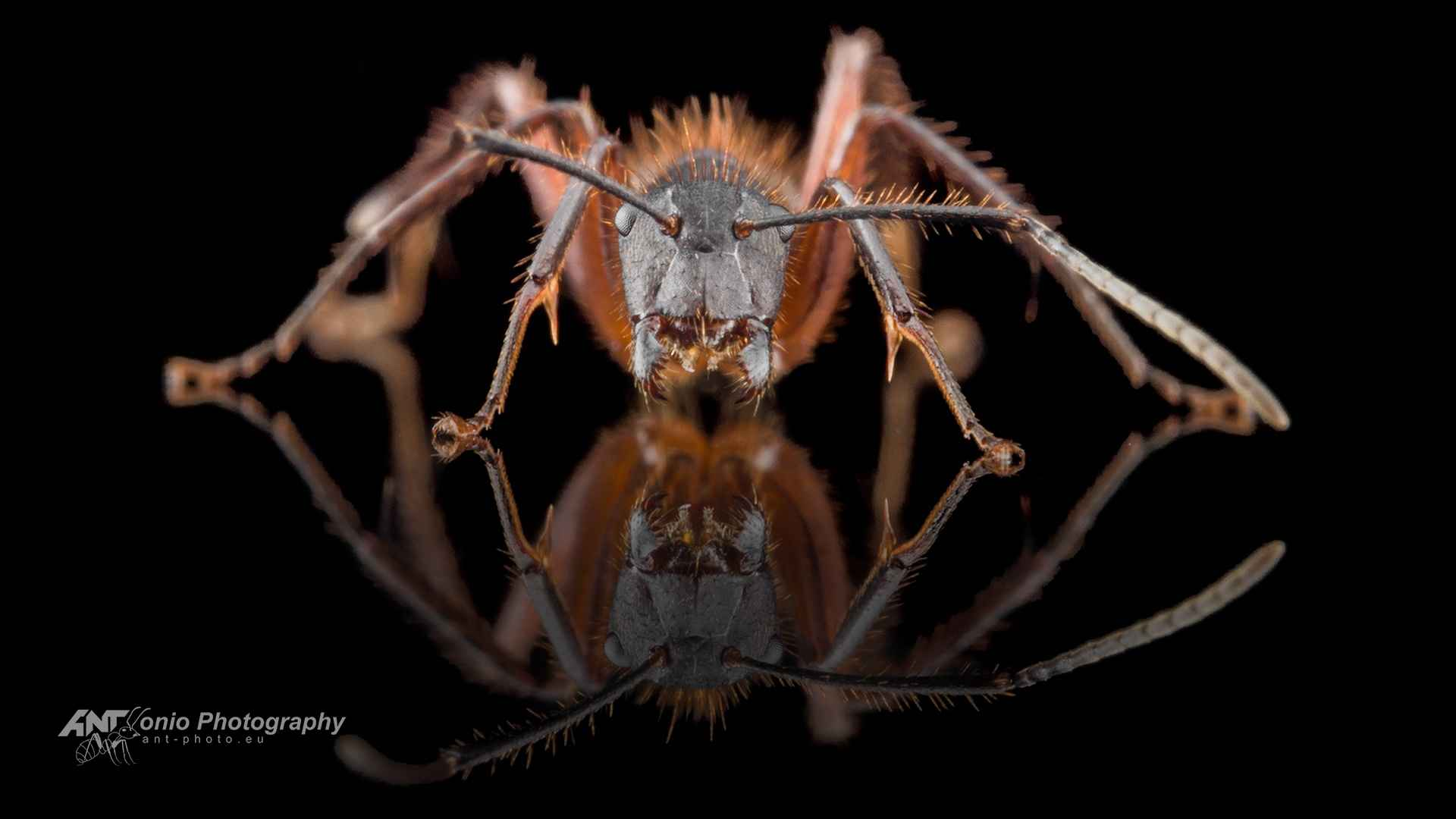 Camponotus brasiliensis