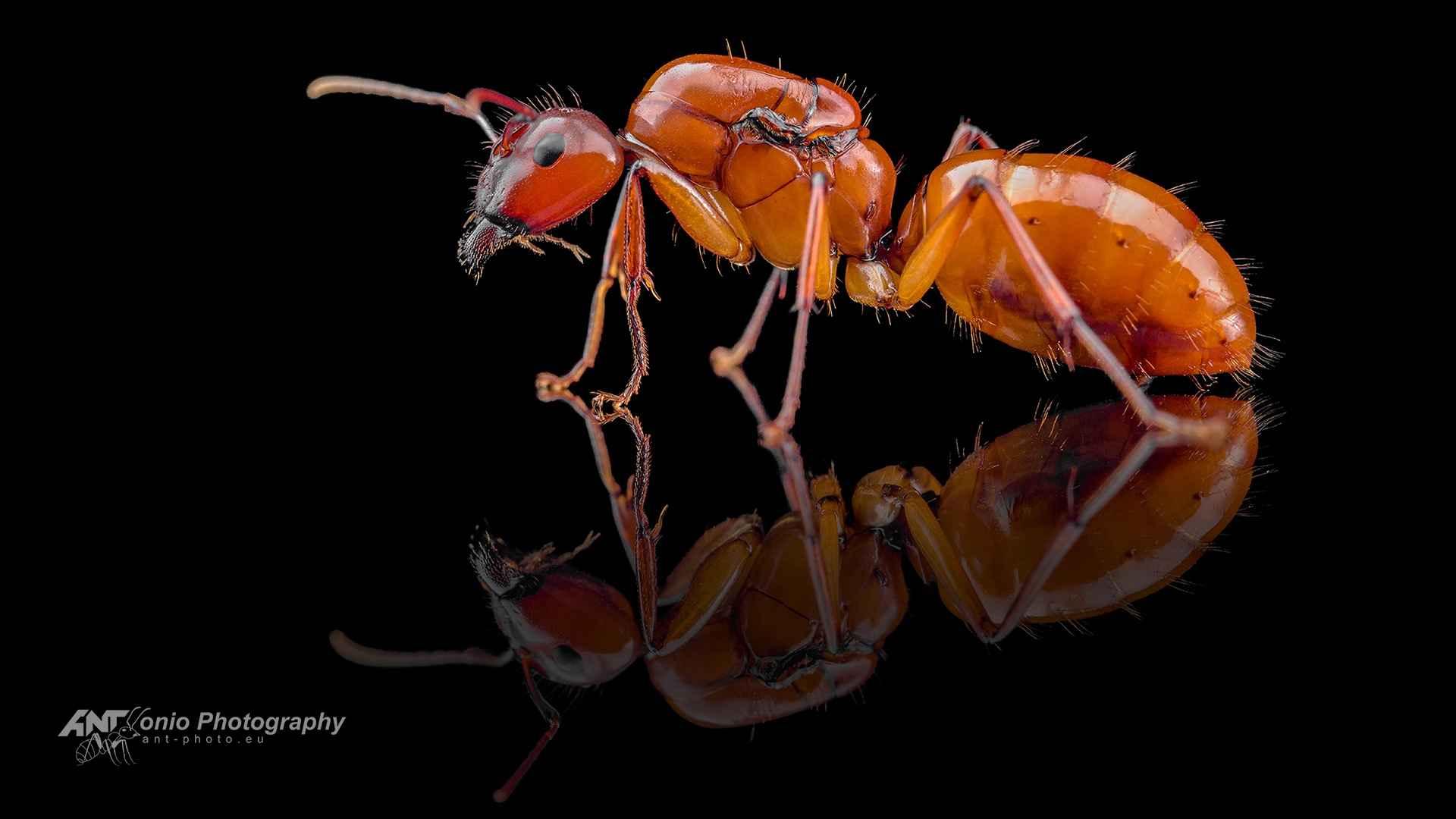 Camponotus castaneus queen