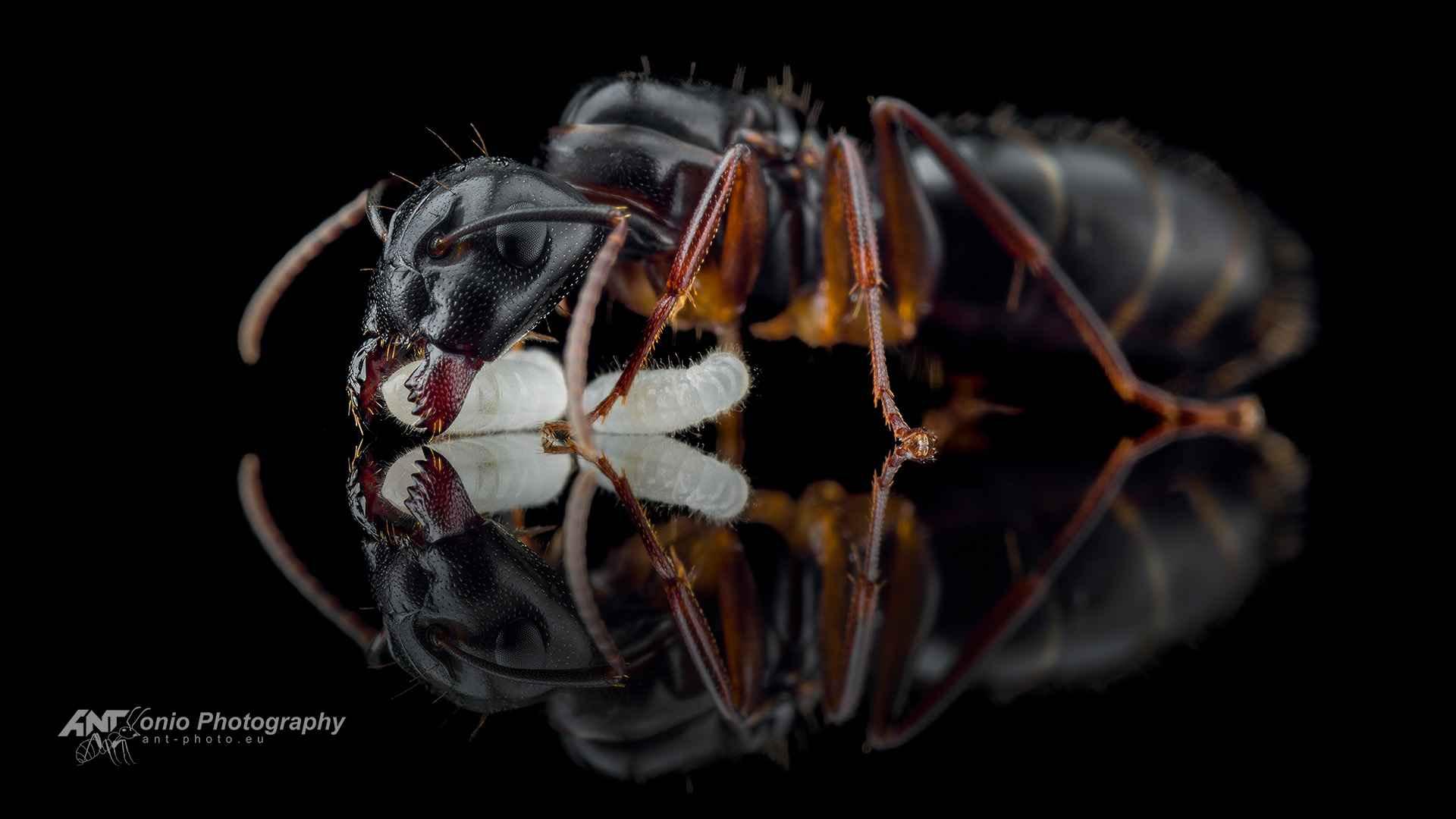 Camponotus fallax