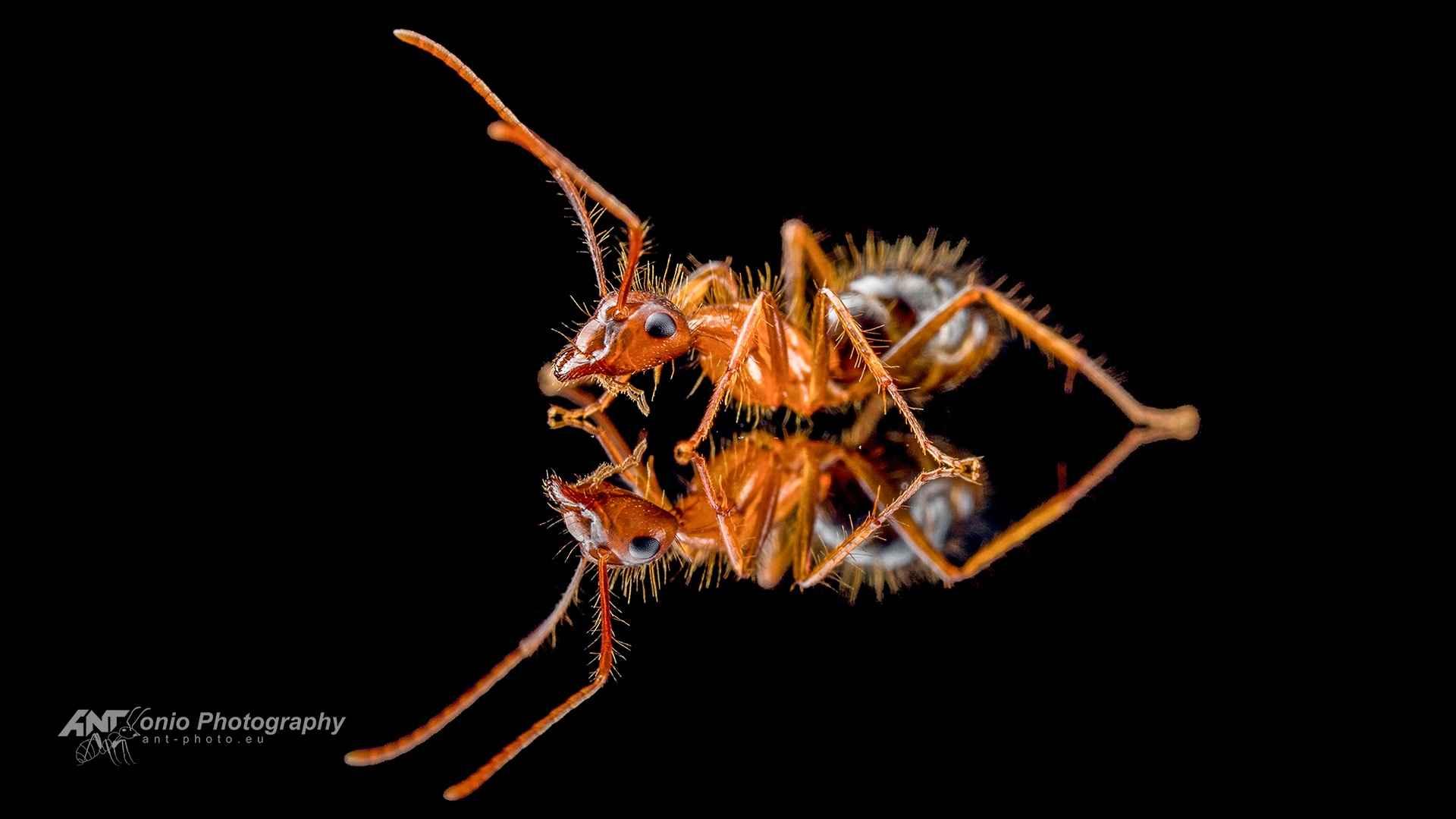 Camponotus floridanus worker
