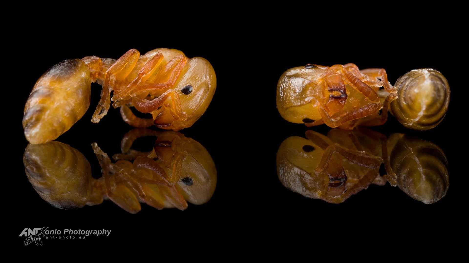 Harpagoxenus sublaevis pupae