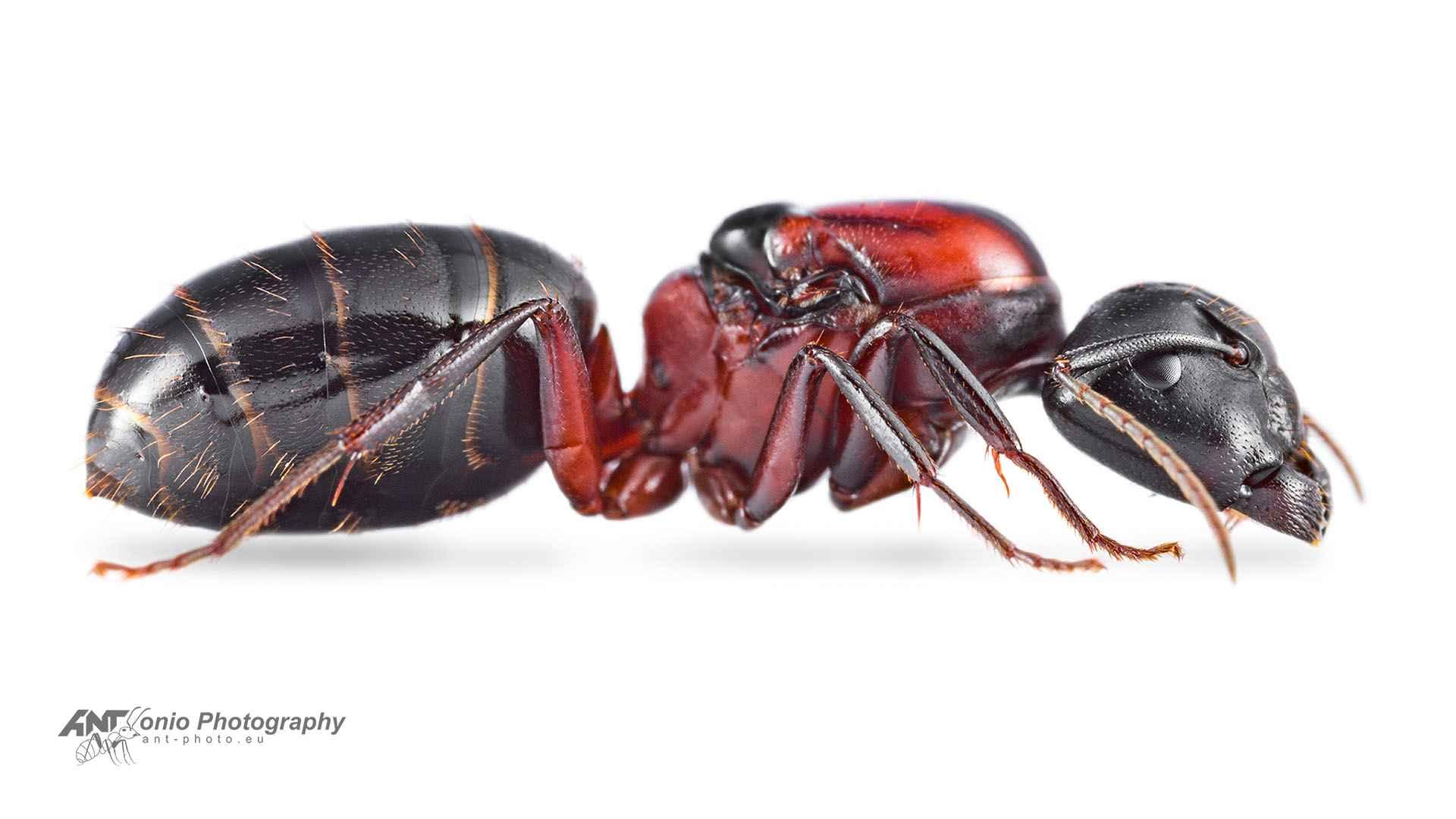Camponotus novaeboracensis