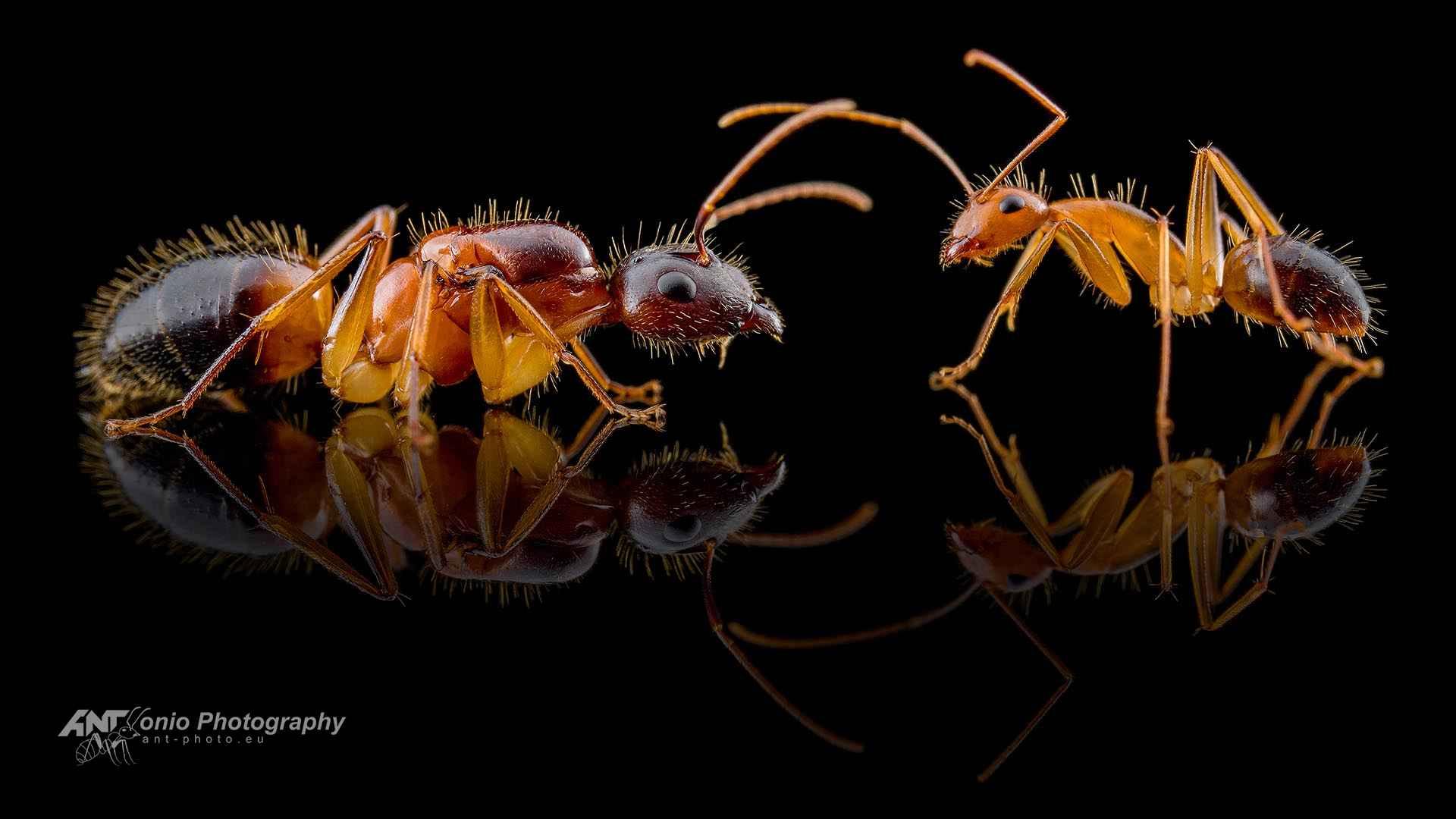 Camponotus pseudoirrytans