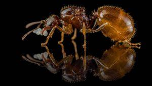 Aphaenogaster dulciniae