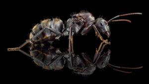 Camponotus cosmicus