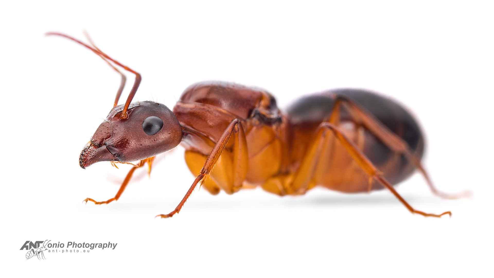 Camponotus pilicornis white 2